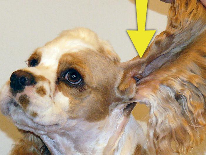 Make Dog Ear Cleaner