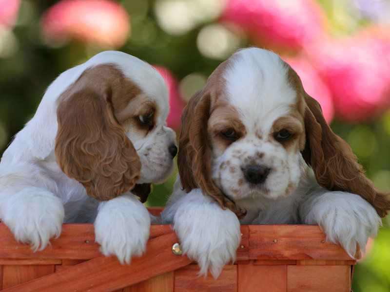 Cocker Spaniel Wallpaper Images From The Zim Family