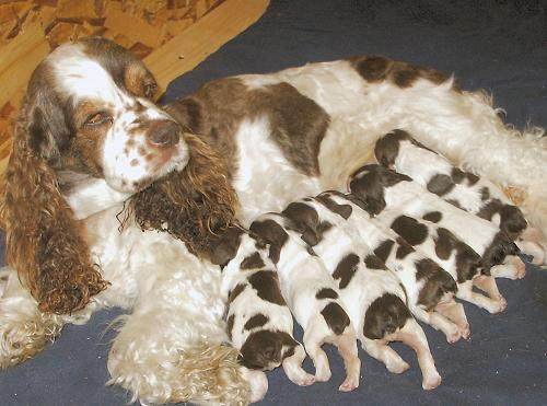 Information About Breeding And Whelping A Litter Of Puppies