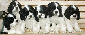 black and white parti color Cocker Spaniel pictures
