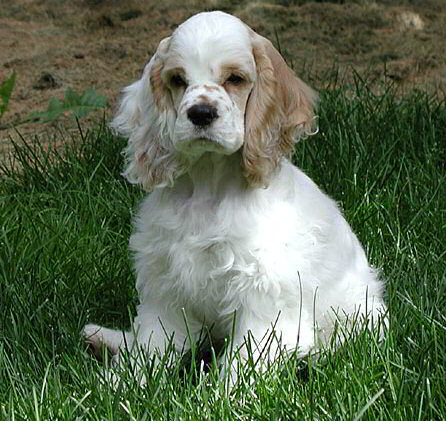 A Basic Introduction To The Cocker Spaniel
